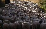 Las ovejas fueron el oro blanco de la Edad Media. ¿Desaparecerán algún día de nuestros campos?