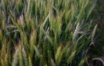 Espigas de cereal en las proximidades de Cantavieja / Gontzal Largo